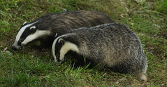Seeing double. (Sandra Standbridge.) Tags: badgers melesmeles outdoor scotland wildandfree mammals animals grass feeding nocturnal