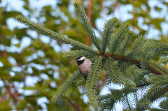 Chickadee hanging out (U.S. Fish and Wildlife Service - Midwest Region) Tags: poecile atricapillus bird migratory spring minnesota norway spruce pine tree hanging perching blackcapped chickadee