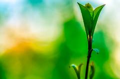Nature, at sunrise.... (tomk630) Tags: plant green nature colors beauty yellow virginia naturepreserve boheh