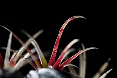 Ferocactus sp. (Rerlins) Tags: cactus macro spines