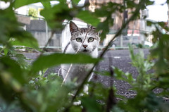 Stray cat (ogizooo) Tags: ricoh gr cat straycat japan