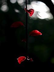 kiel_blutbuche01 (ghoermann) Tags: deu dsternbrook geo:lat=5433458046 geo:lon=1015377045 geotagged germany kiel schleswigholstein park leaf