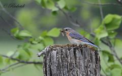 Merlebleu de l est (femelle ) / Eastern Bluebird Female (ricketdi) Tags: blue bird bleu merle easternbluebird sialiasialis merlebleudelest