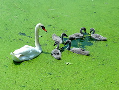 Adorable Family (dimaruss34) Tags: summer newyork bird brooklyn swan image prospectpark dmitriyfomenko