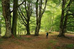 HAYEDOS CENTENARIOS (carrerasjordi) Tags: hayedo bosque naturaleza paisaje arbol aire libre