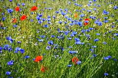 Mohn mit Kornblumen - Poppies with Cornflowers (antje whv) Tags: flowers blumen poppies mohn cornflowers kornblumen