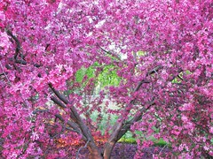 Pink! (Cher12861) Tags: pink flowers tree blossoms wheatonillinois cantignygardens spring2016