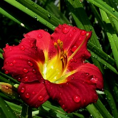 Lily After the Rain (mightyquinninwky) Tags: summer plant hot green water rain yellow droplets drops lily kentucky maroon blooms waterdrops waterdroplets flowerpower humid blooming unioncounty westernkentucky fantasticflowers unioncountykentucky ohiorivervalley morganfield flowerworld afterarain bloomingflowers 1on1flowers morganfieldkentucky flickrflowers flowerwatching flowergalore flowerwatcher excellentflowers
