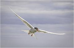 Arctic Tern (Explored) (cconnor124) Tags: canoneos seabirds smallbirds naturephotography arctictern birdphotography inexplore canon100400lens canon760d