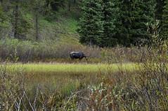 GTY_0212 (Kerri M.) Tags: wyoming grandtetonnationalpark nationalparks moose wildlife nature