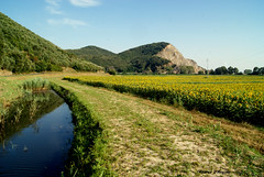Campo di girasoli (Darea62) Tags: landscape sunflower stream reflection hill path agriculture cultivation seeds field paesaggio lucca tuscany toscana