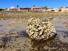 IMG_0234 (Tina A Thompson) Tags: sonora seashells mexico sealife seashell marinebiology tidepools seaofcortez marinelife chollabay mexicobeaches chollabaymexico