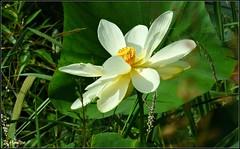 Lotus Flower (Suzanham) Tags: lotus petals nature cone mississippi lake