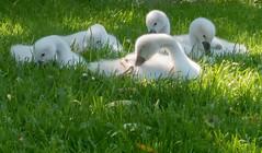 """""""Swanlings"""" (Jorden Esser) Tags: grass swan cygnet swans cygnets swanlings"""