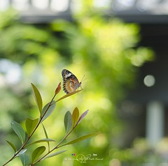 2016-07-08_03-08-22 (mani260783) Tags: green butterfly nikon natural wildlife georgetown malaysia penang penangisland 50mmf18 telukbahang nikon50mmf18 pulaupinang  georgetownpenang my tanjungbungah  penangbutterflyfarm  nikond7000   entopia entopiabypenangbutterflyfarm ahweilungwei