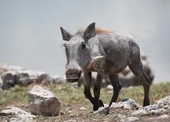 A young Warthog (anacm.silva) Tags: africa wild nature wildlife namibia etosha warthog frica etoshanationalpark nambia