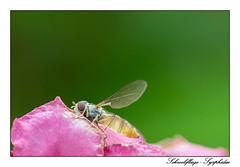 Schwebfliege - Syrphidae (tom22_allgaeu) Tags: schwebfliege syrphidae makro macro nikon 90mm tamron d3200 animals insekt insect natur nature nahaufnahme