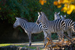 Zebras (Cloudtail the Snow Leopard) Tags: animal mammal zoo basel zebra tier equus sugetier