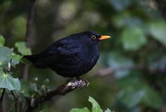 Zealandia ~ Blackbird (whitebear100) Tags: newzealand nz wellington northisland blackbird zealandia