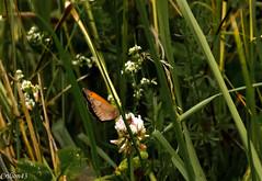 Coenonympha pamphilus L. Le Procris, le Fadet commun? (Crilion43) Tags: france vreaux divers animauxdivers jardin centre paysage canon herbe insectes fleurs bourdon cher abeille brouillard gupe nature papillon rflex