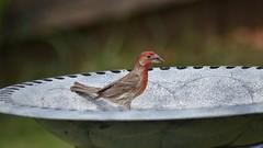 house finch (michaelf133) Tags: house bird eye photography bill nikon texas tail beak seed finch 70300mm birdwatching songbird redbird birdphotography birdsoftheworld blackoilsunflowerseed d3100
