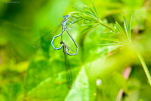 White legged Damselfly (Platycnemis pennipes), in copula