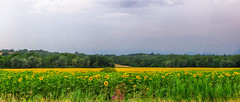 IMG_0116+117 Sunflower fields - ON EXPLORE #191 (pinktigger) Tags: sunflower field girasoli country countryside landscape summer estate fagagna feagne friuli italia italy