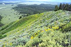 Sage, and Arrowleaf Balsamroot, Jackson Hole (V. C. Wald) Tags: grandtetonnationalpark balsamorhizasagittata arrowleafbalsamroot signalmountain jacksonholewyoming