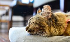 Monday Blues (BHiveAsia) Tags: cats cat kitten kitty animal animals pet pets feline felines wild life wildlife nature portrait cute