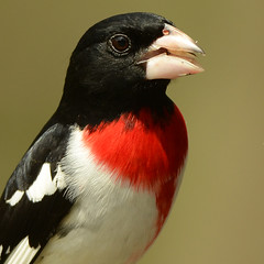 Rose-breasted Grosbeak (Windows to Nature) Tags: