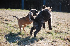 DSC_0043 (juliapee) Tags: dogs spring borderterrier dogsplaying lagotto romangolo