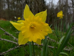 Crawling (Bricheno) Tags: flower macro scotland woods perthshire escocia daffodil szkocja daffodils pitlochry schottland scozia cosse  esccia perthkinross   bricheno scoia