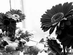 Ninety seven. Moody daisies (sarahjanequinn) Tags: flowers blackandwhite monochrome iphone project365