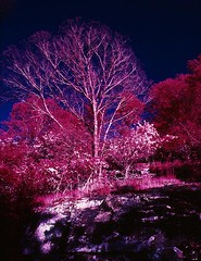 Kennesaw, GA (Scott.L) Tags: ir ishootfilm infrared colorinfrared analogphotography eir infraredfilm aerochrome aerochromeir