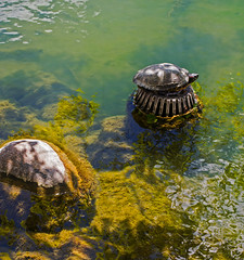 sunbathing in Clifton Springs, NY (clear-creek) Tags: rocks turtles wetlands waterscapes