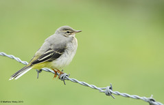 On the fence (Wizmatt) Tags: uk bird nature fence matt landscape photography grey matthew wildlife lakes hampshire barbedwire british juvenile wagtail cinerea motacilla testwood wisby sigma120400 wizmatt