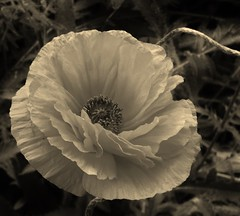 poppies 027 (cellocarrots) Tags: poppies