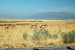 18 - Pronghorns (Scott Shetrone) Tags: animals utah events places antelopeisland mammals 7th pronghorns anniversaries