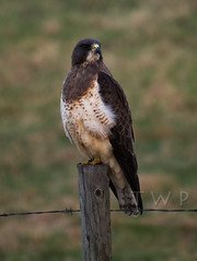 My Fair Lady (WanderWorks) Tags: canada bird fence wire post hawk alberta prey barbed dsc6341rwc1nb20c30eyhg