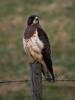 My Fair Lady (WanderWorks) Tags: canada bird fence wire post hawk alberta prey barbed dsc6341rwc1nb20c30eyhg