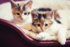 the twins (arrowlili) Tags: cats cute babies sweet kittens shy calico 365 odc