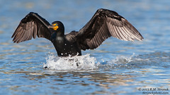 Double-crested Cormorant -touchdown (Bob Stronck) Tags: avian seabirds redwoodcity redwoodshores doublecrestedcormorant phalacrocoraxauritus sanmateocounty stronckphotocom birdsofsanfranciscobay ©2013rmstronck