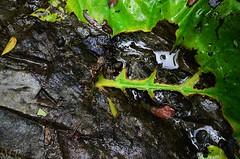 Structured Leaf (Ami VONDo) Tags: sky fall water rain rock leaf drops nikon insects journey jungle mehrab kundo saifuzzaman d5100 madhob