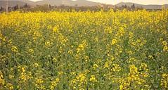 In the yellow field (Ska * mon) Tags: italy field yellow landscape italia giallo campo prato umbria colza