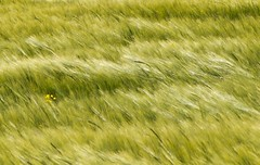 death to the mono-culture (Ray Byrne) Tags: field grass farm northumberland oilseed raybyrne byrneoutcouk webnorthcouk