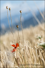 2013-07-FR-nature-valromey-bl-coquelicot-2 (serge odin) Tags: nature paysage ble coquelicots