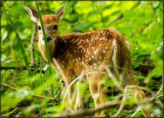 J. Heinz Bambi (MurrayH77) Tags: summer philadelphia nature john wildlife deer heinz whitetail nwr jheinz