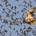 Best of Show - 1st Place - Published Images - Al Perry - Red Tailed Hawk Attacking Brazilian Free Tailed Bats