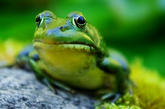 Frog Eyes (~Bella189) Tags: pentax coaticook friendlychallenges agcgwinner herowinner ultraherowinner thepinnaclehof kanchenjungachallengewinner storybookwinner pentaxk5 storybookttwwinner tphofweek226