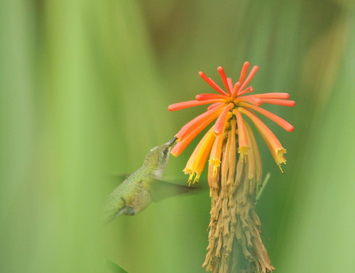 Hummingbird at Red Hot Poker